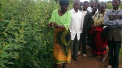 Milika Phiri at the Jombo field day, Ekwendeni region, explaining how she has grown such beautiful pigeonpea.