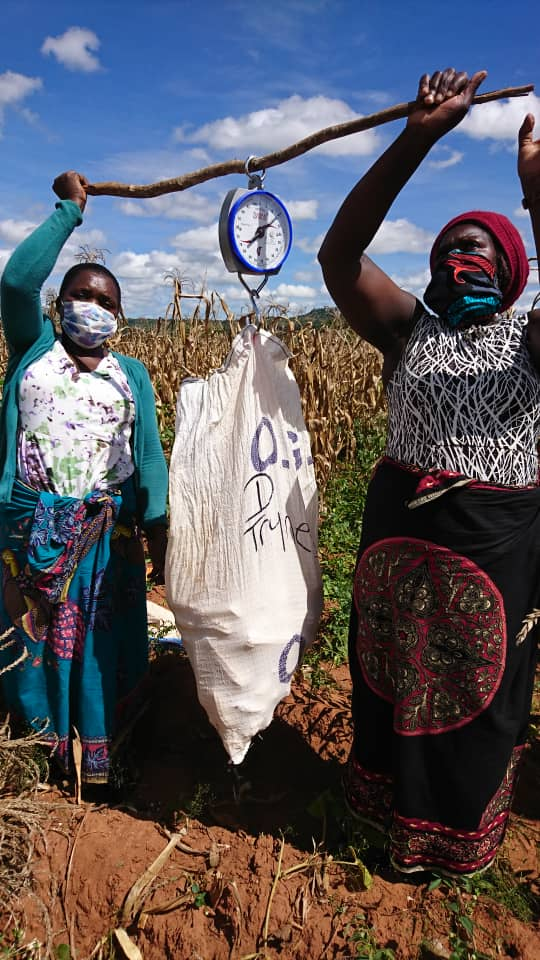 Two women wearing masks stand on either side of a stick and hold it in the air in a field. The scale is attached to the stick and holds a bag filled with ears of corn.
